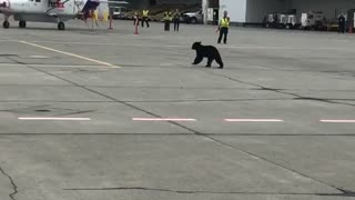 Bear Runs Across Airport Tarmac