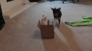 Kitten Sees Cardboard Box For The First Time - Video