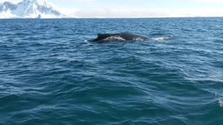 A Close Encounter With Some Beautiful Humpback Whales