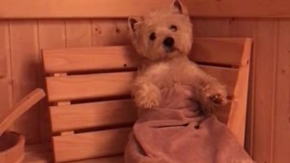 Relaxed Westie Enjoys Cozy Sauna Treatment After A Long Day - Video