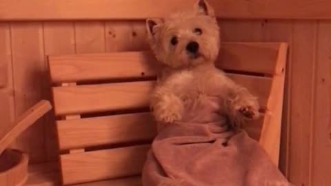 Relaxed Westie Enjoys Cozy Sauna Treatment After A Long Day