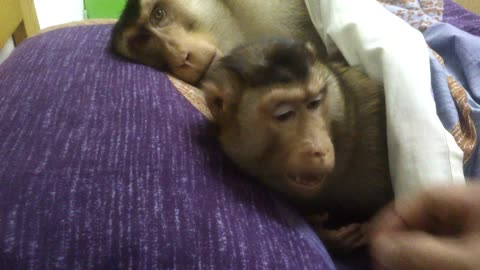 Adorable monkeys enjoy nap in owner's bed