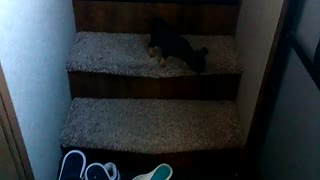 Small black dog falls down the stairs  - Video