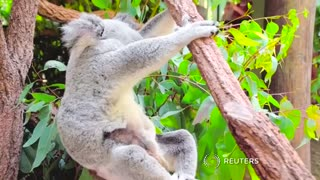 Baby koala at Australian zoo wows social media - Video