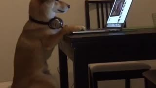 Chiko The Shiba Inu Gives His Best Human Impression - Video