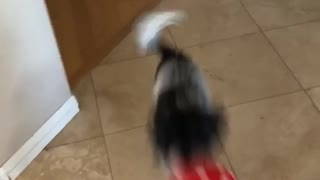 Black and grey dog bounces red balloon up and down on floor - Video