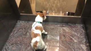 A dog is having fun and scared in an elevator