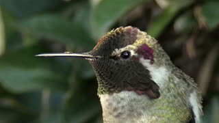 Anna's Hummingbird Shows Off Bright Color Change Illusion