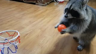 Sports-loving raccoon dribbles and dunks basketball - Video