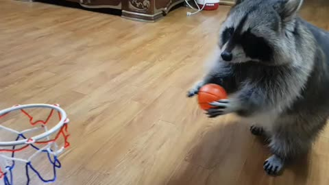Sports-loving raccoon dribbles and dunks basketball