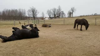Happy Friesdale Horses rolling after bath