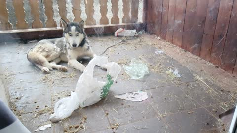 Husky made mess outside
