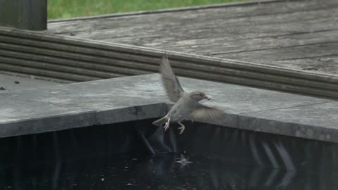 A Sparrow makes acrobatic moves to get a larva out of the water.
