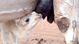 Watch a small camel drinking from his mother's milk