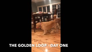 Golden Retrievers Play 'Follow The Leader' Around Kitchen Table - Video