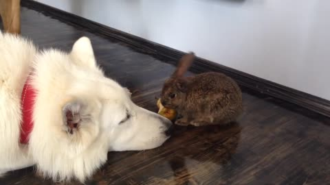 Fearless rabbit stands up to pair of German Shepherds