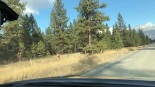 Elk Trips While Crossing the Road