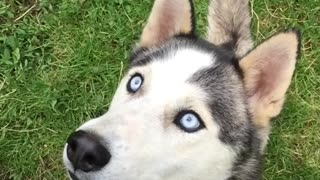 Husky fail  at catching  - Video