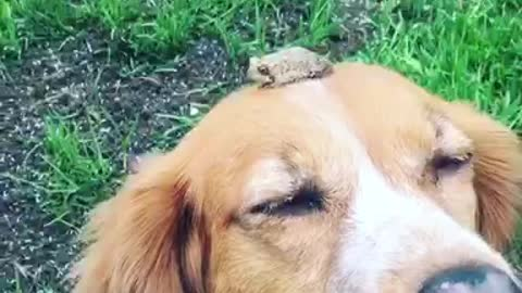 Brave Toad Decides To Chill On Top Of Patient Dog's Head