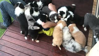 Dozen Puppies Gather Around And Shower Man With Kisses - Video