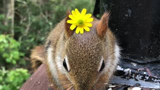 Friendly Baby Red Squirrel Wears Flower