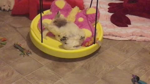 Puppy passes out on toy swing in motion