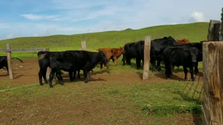 Cattle Making Trouble They Have Nothing Better to Do  - Video