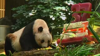 World's oldest panda - Video