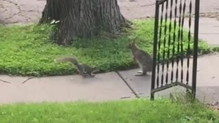 Wild rabbit and squirrel incredibly play together - Video
