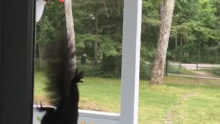 Squirrel climbs down screen door - Video & Polite Squirrel Knocks On Door For Peanuts
