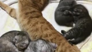 My Mom cat playing with her little born kitties - Video