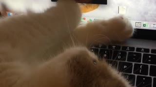 Cat plays with screen