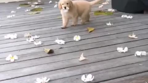 my golden is playing with flowers