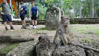 Monkey Star Sitting For Tourist Selfie - Video