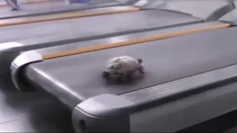 Amazing turtle running