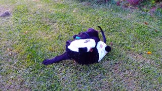 Puppy in adorable panda costume bounces and somersaults