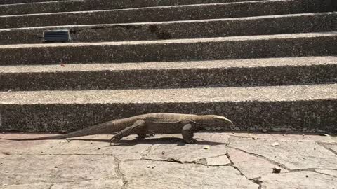 Giant monitor lizard searching for his lunch