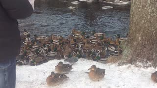 Winter, minus 15 degrees, feeding the hungry ducks on the river in Russia - Video