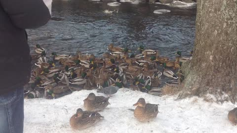 Winter, minus 15 degrees, feeding the hungry ducks on the river in Russia
