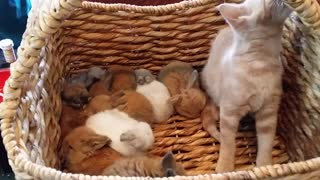 Kitten hops in basket full of baby bunnies - Video