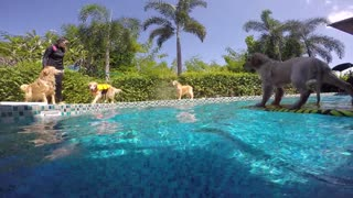 Golden Retrievers rescatan a un cachorro varado en una piscina - Video