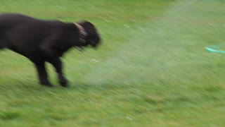 Puppy meets garden hose for the first time - Video