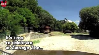 Cute Baby Hippo! - Video