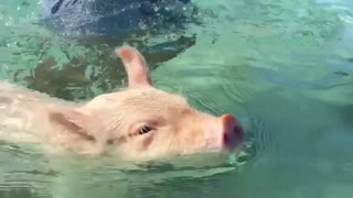 Piglet takes swimming lessons in Bahamas - Video