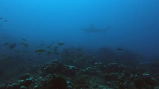 Divers swim with hundreds of scalloped hammerhead sharks