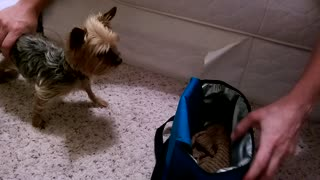 Teacup Yorkie plays in a lunchbox - Video