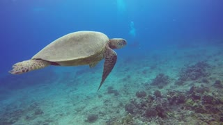 Molokai Turtle  - Video