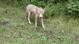 Bobcat, Coyote and Two Cyclists - Video