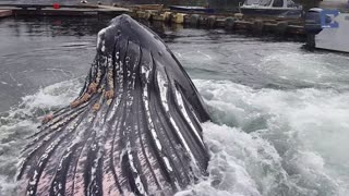 Humpback Whale Breaches Surface By Docks - Video