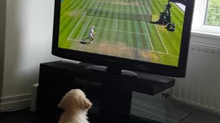 Golden Retriever puppy is a huge fan of Wimbledon